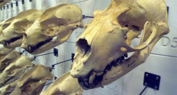 Sea Lion Skull visitor wall: from Cal Acadmey