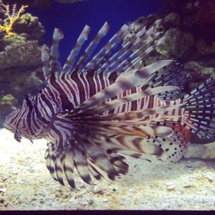 Lionfish, rawr!!!